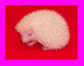 Albino Hedgehog - HEDGEHOGS by Vickie