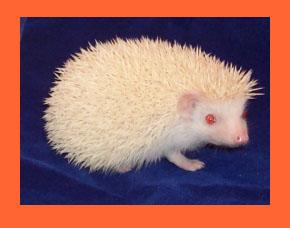 Apricot Hedgehog- HEDGEHOGS by Vickie