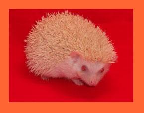 Apricot Hedgehog - HEDGEHOGS by Vickie