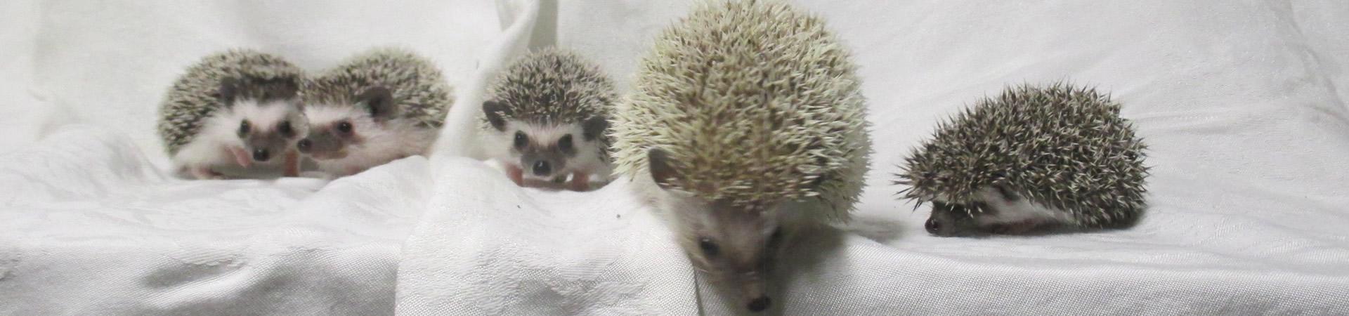 Hedgehog enthusiasts since 1994