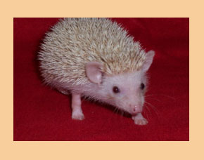 Champagne Hedgehog - HEDGEHOGS by Vickie