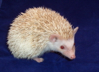 Cinnicot Hedgehog - HEDGEHOGS by Vickie