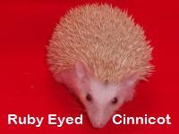 Ruby Eyed Cinnicot Hedgehog - HEDGEHOGS by Vickie