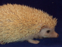 Cinnicot Hedgehog - HEDGEHOGS by Vickie