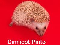 Cinnicot Pinto Hedgehog - HEDGEHOGS by Vickie
