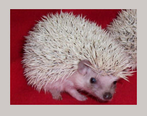 Dark Eyed White Hedgehog - HEDGEHOGS by Vickie