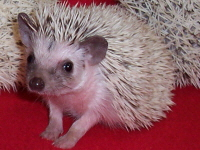 Hedgehog Color Mutation - HEDGEHOGS by Vickie