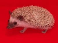 Oak Brown Hedgehogs - HEDGEHOGS by Vickie