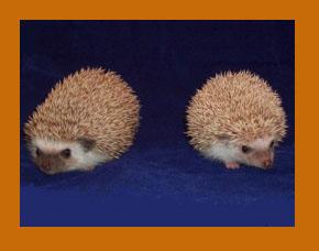 Oak Brown Hedgehog - HEDGEHOGS by Vickie