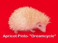 Apricot Pinto Hedgehog - HEDGEHOGS by Vickie