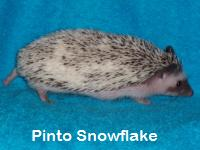 Pinto Snowflake Hedgehog - HEDGEHOGS by Vickie