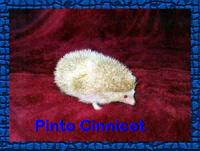 Pinto Cinnicot Hedgehog - HEDGEHOGS by Vickie