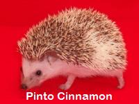 Pinto Cinnamon Hedgehog - HEDGEHOGS by Vickie