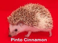 Pinto Cinnamon Hedgehog - HEDGEHOGS by Vickie