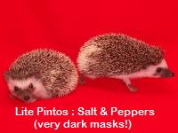 Salt & Pepper Pinto Hedgehog - HEDGEHOGS by Vickie