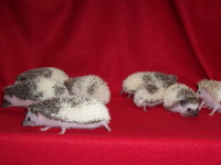 Pinto Hedgehog - HEDGEHOGS by Vickie