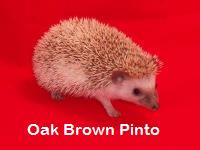 Oak Brown Pinto Hedgehog - HEDGEHOGS by Vickie