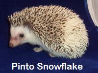 Pinto Snowflake Hedgehog - HEDGEHOGS by Vickie