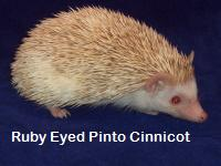 Ruby Eyed Pinto Cinnicot Hedgehog - HEDGEHOGS by Vickie