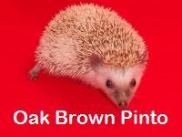 Oak Brown Pinto Hedgehog - HEDGEHOGS by Vickie