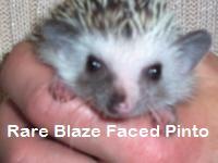 Rare Blaze Faced Pinto Hedgehog - HEDGEHOGS by Vickie