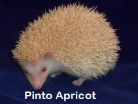 Pinto Apricot Hedgehog - HEDGEHOGS by Vickie