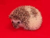 Pinto Hedgehog - HEDGEHOGS by Vickie
