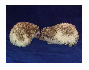 Pinot Hedgehog - HEDGEHOGS by Vickie