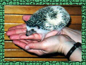 Pinot Hedgehog - HEDGEHOGS by Vickie