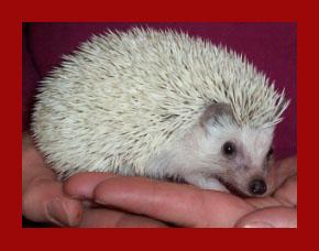 Platinum Hedgehog - HEDGEHOGS by Vickie