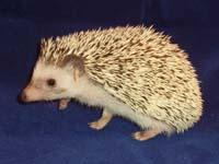 Snowflake Hedgehog - HEDGEHOGS by Vickie