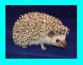 Snowflake Hedgehog - - HEDGEHOGS by Vickie