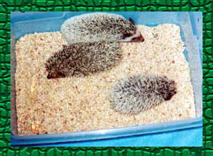 Litter of Snowflake Hedgehogs - HEDGEHOGS by Vickie