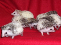 Tobiano Pinto Hedgehogs - HEDGEHOGS by Vickie