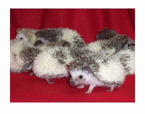 Tobiano Pinto Hedgehog - HEDGEHOGS by Vickie