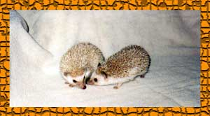HEDGEHOGS by Vickie