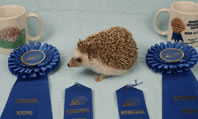 Champion Hedgehog Camilla - Hedgehogs by Vickie