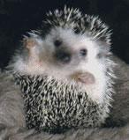 Hedgehogs by Vickie Lil Foot