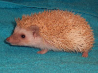 rich cinnicot pinto hedgie - HEDGEHOGS by Vickie