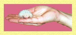 Cute Baby Hedgehogs for Sale - Hedgehogs by Vickie