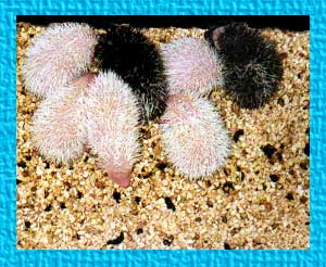 Adorable Baby Hedgehogs for Sale - Hedgehogs by Vickie