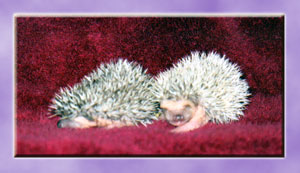 Baby Hedgehogs for Sale - Hedgehogs by Vickie