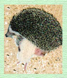 Hedgehogs for Sale - Hedgehogs by Vickie