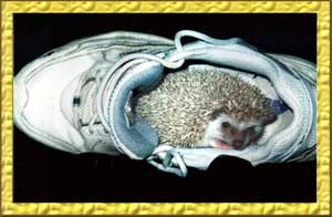 How to care for hedgehogs - Hedgehogs by Vickie