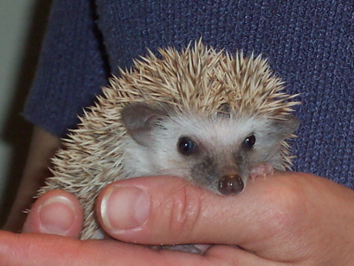 baby hedgies for sale