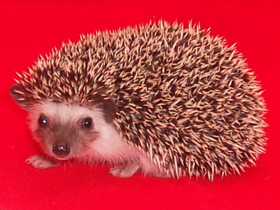 baby hedgehog for sale