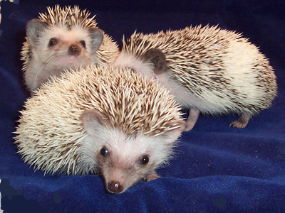 fancy hedgehogs for sale