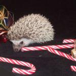 Christmas hedgehogs for sale