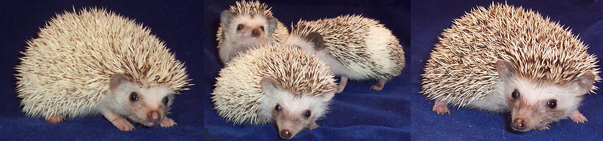 Experienced Hedgehog Breeders